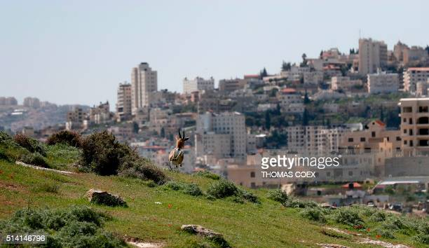 Gazelles run on a hill between the Israeli settlement of Har Homa and the city of Bethlehem in the annexed east Jerusalem on March 7 2016 / AFP /...