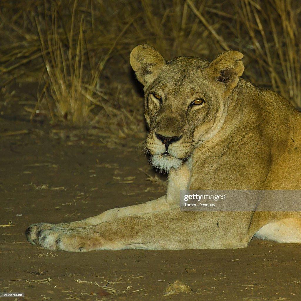 gazing lioness : Stock Photo