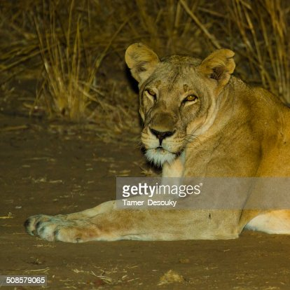 gazing lioness : Stock Photo