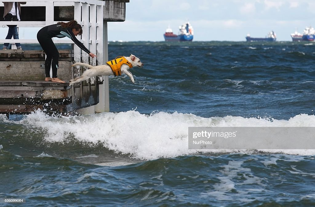 Gdansk, Poland 11th, June 2016 Dozen rescue dogs took part in the 2nd Water Rescue Dogs Cup of Poland in Gdansk Brzezno on the Baltic Sea coast. Lifesaving dogs had to pass a test of obedience and the rescue of a man on the rough waters of the Baltic Sea