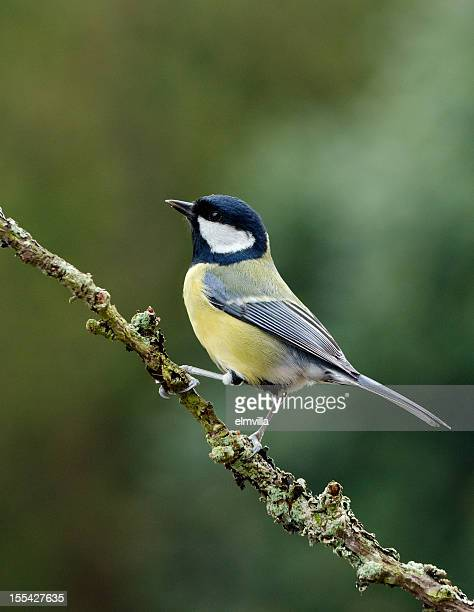 Geat Tit perching on a twig