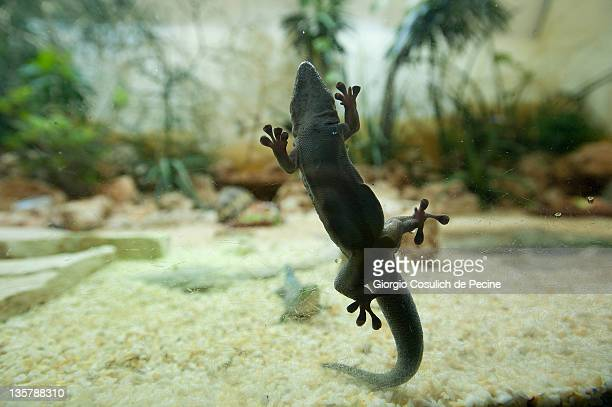 A gecko hangs in a glass box before a vet examination at the Bioparco Zoo on December 14 2011 in Rome Italy During the general checkup of the...