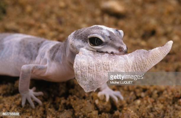 Gecko leopard mangeant sa mue