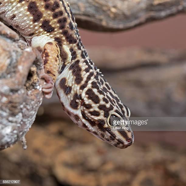 Gecko run