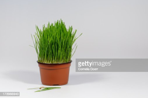 how to grow durva grass in pot