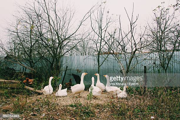 Geese And Chickens On Farm