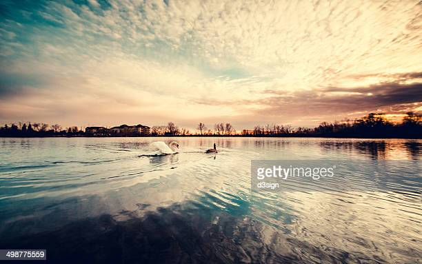 Geese and goose swimming towards the sunrise