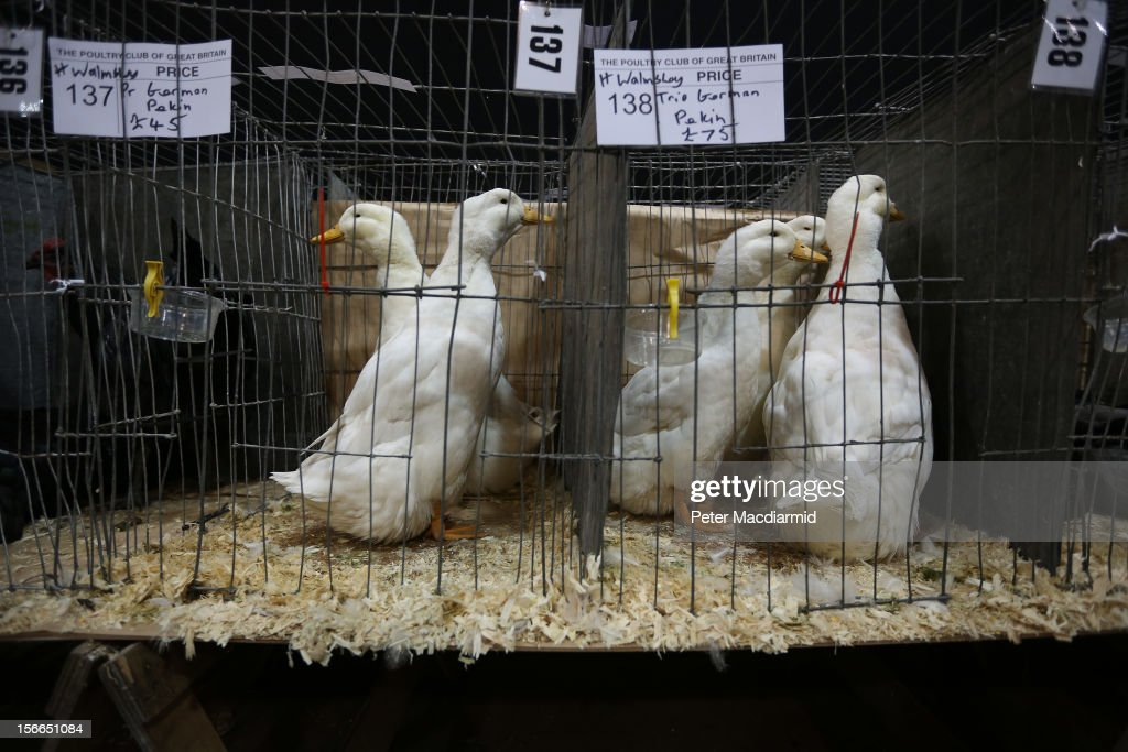 Geese are displayed for sale at The National Poultry Show on November 17, 2012 in Stoneleigh, England.Thousands of people have attended The Poultry Club's 2012 National Show. The Poultry Club was founded 1877, and was established to safeguard the interests of all pure and traditional breeds of poultry including chickens, ducks, geese and turkeys.