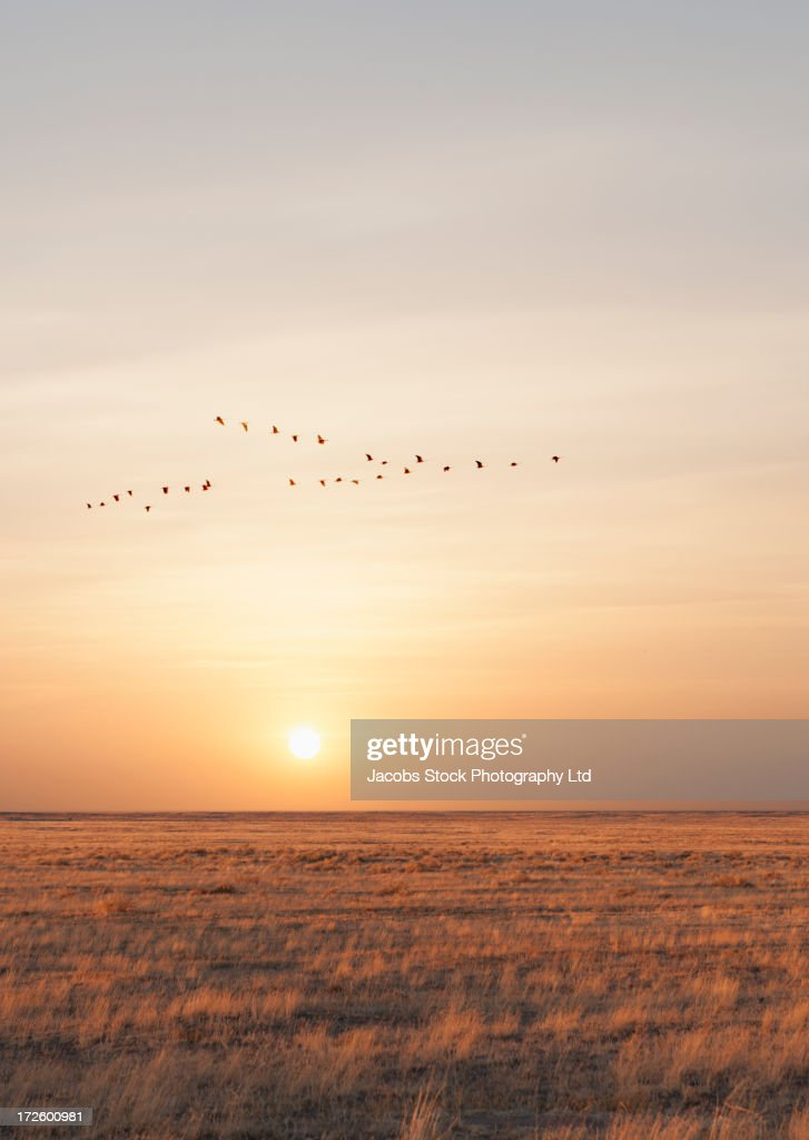 Geese flying over rural fields