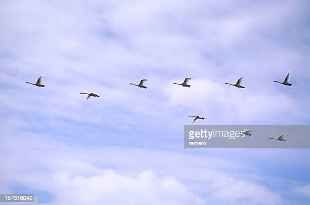 Geese in the Flight