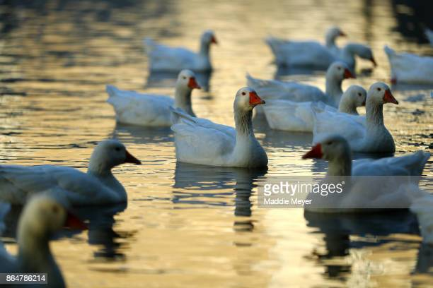 Geese swim near the bank of the Charles River during the Head of the Charles Regatta on October 21 2017 in Boston Massachusetts