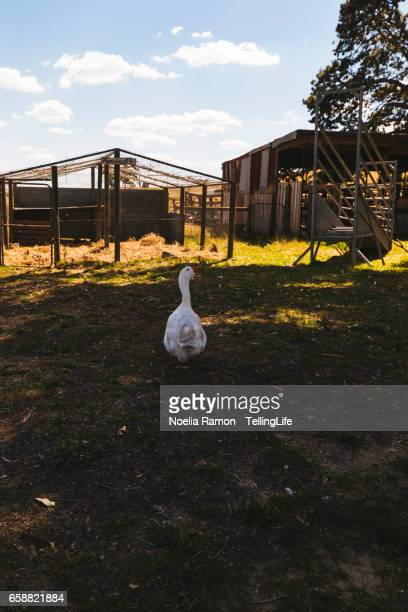 Geese walking in a group at a farm in Victoria, Australia
