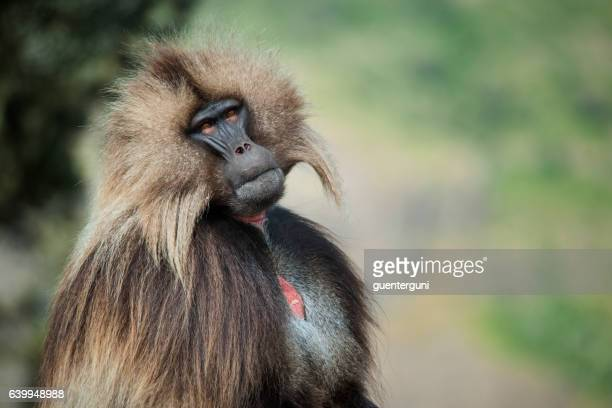 Gelada Baboon in the Simien Mountains