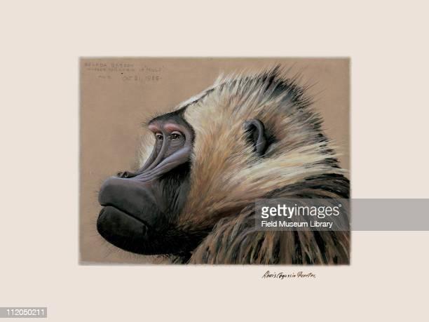 Gelada Baboon mammal Plate 102 a watercolor Louis Agassiz Fuertes 1926