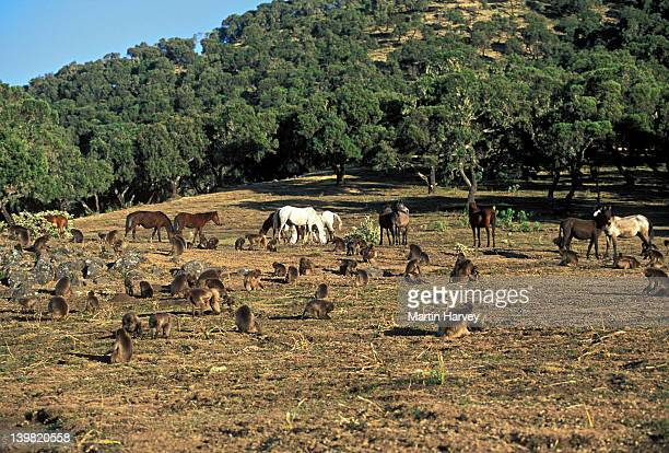 Gelada Baboons, Theropithecus gelada, amongst horses. Displaced from their mountain habitat. Simien Mountains, Ethiopia