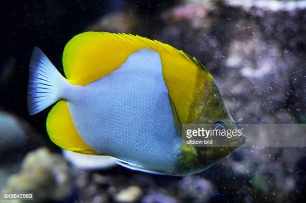 Gelber PyramidenFalterfisch Hemitaurichthys polylepis Vorkommen Bali Frz Polynesien 340 m Tiefe an Aussenriffabhaengen