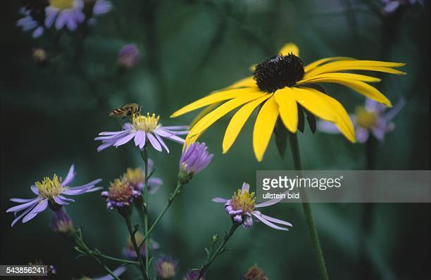 rudbeckia triloba stock photos and pictures getty images. Black Bedroom Furniture Sets. Home Design Ideas