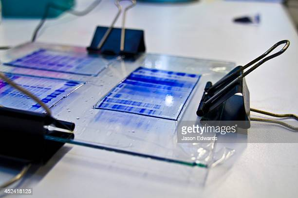 Gels from polyacrylamide gel electrophoresis and blue stained proteins.