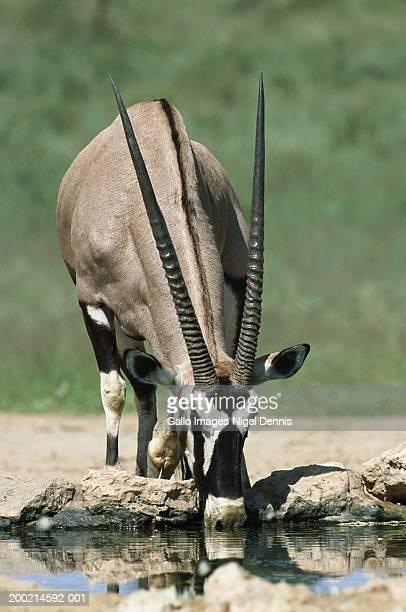 Gemsbok (Oryx Gazella) drinking at waterhole
