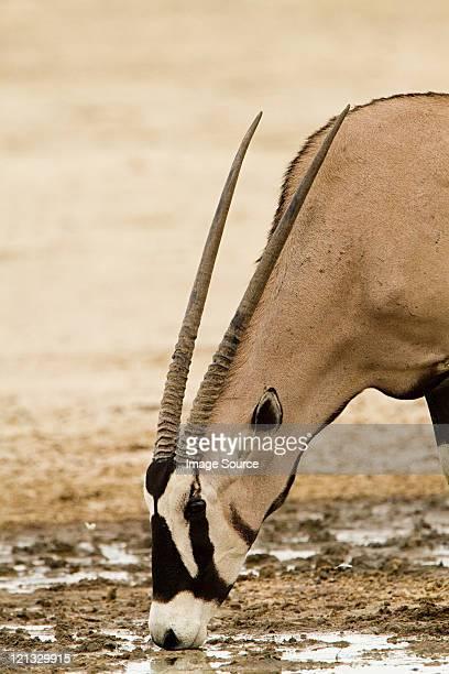 Gemsbok drinking water