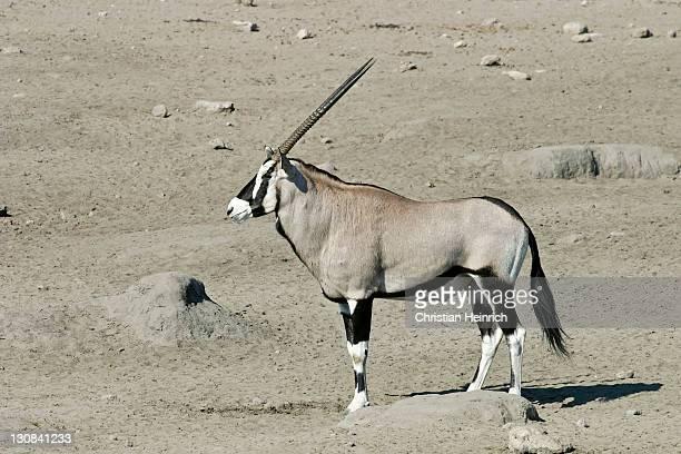 Gemsbok, Gemsbuck (Oryx gazella) in Etosha National Park, Africa, Namibia
