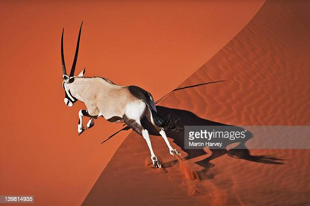 Gemsbok (Oryx gazella) In typical desert habitat, Namib desert, Namib-Naukluft National Park, Namibia, Africa