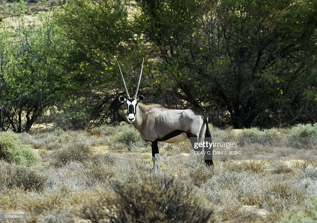 Gemsbok Kgalagadi Transfrontier Park South Africa and Botswana