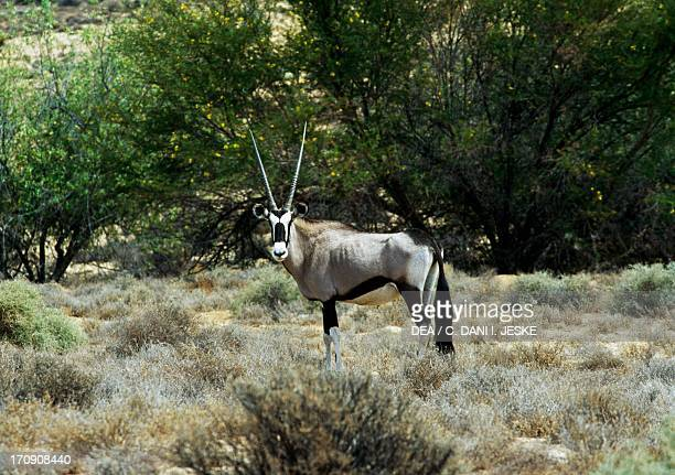 Gemsbok Kgalagadi Transfrontier Park South Africa and Botswana