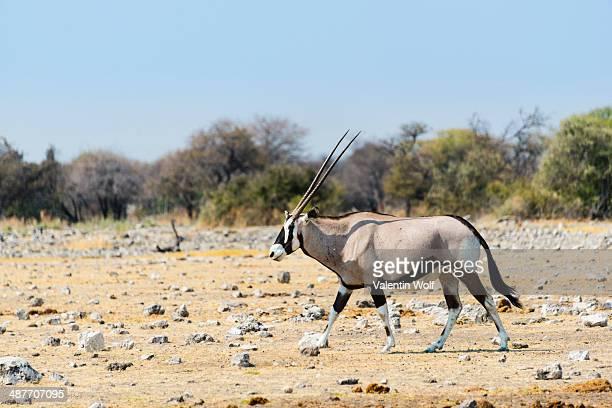 Gemsbok -Oryx gazella-, Etosha National Park, Namibia