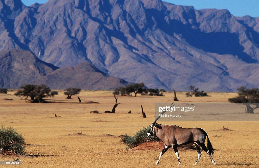 Gemsbok, Oryx gazella, in typical desert habitat. Namib-Naukluft Park, Namibia. South-Western & Northern East Africa. : Stock Photo