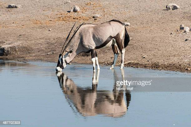 Gemsbok -Oryx gazella- standing in the water drinking, Chudop waterhole, Etosha National Park, Namibia