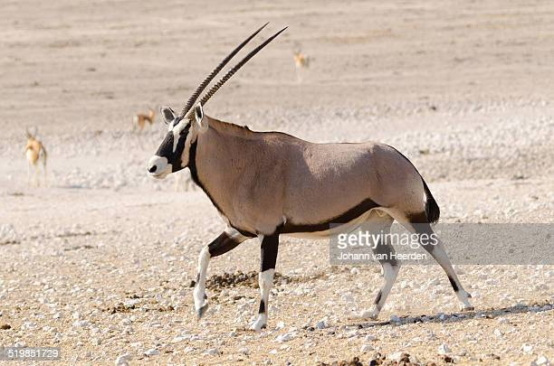 Gemsbok strutting