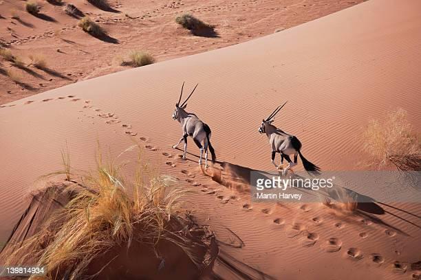 Gemsboks (Oryx gazella) walking desert habitat, Namib desert, Namib-Naukluft National Park, Namibia, Africa
