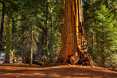 Massive, ancient giant sequoias in groves in Kings Canyon National Park California USA