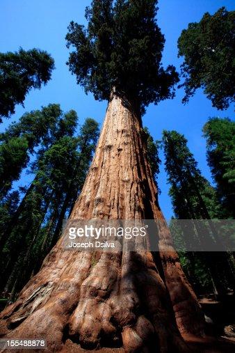 General Sherman Tree : Stock Photo