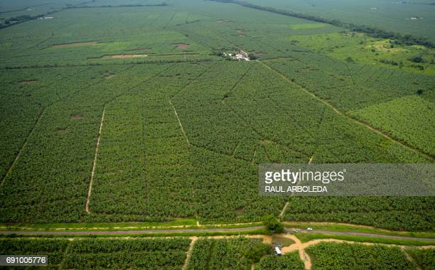 TOPSHOT General view of a banana plantation in Apartado Antioquia department Colombia on May 31 during the distribution from a helicopter by...