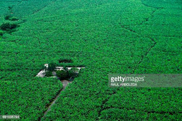 General view of a banana plantation in Apartado Antioquia department Colombia on May 31 during the distribution from a helicopter by antinarcotics...