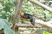 A general view of a golden lion tamarin in the Guyana biozone at the Zoological Park of Paris on April 8 2014 in Paris France After 6 years of...