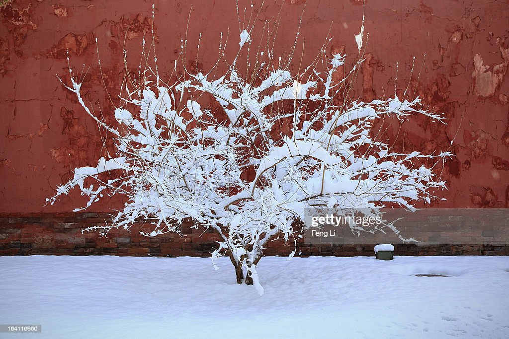 A general view of a tree with snow at the Imperial Ancestral Temple following overnight snowfall on March 20, 2013 in Beijing, China. Beijing witnessed a heavy spring snowfall with a depth reaching 10-17 centimeters overnight.