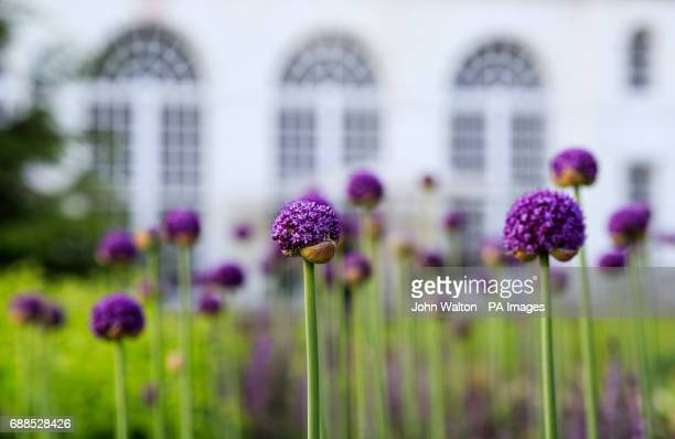 A general view of Allium flowers at The Royal Botanic Gardens Kew London