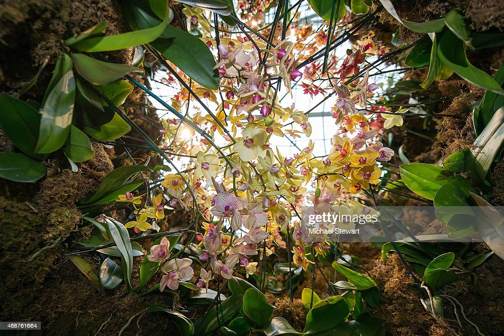 A general view of atmosphere at The Orchid Show Chandeliers at The New York Botanical Garden on April 5 2015 in the Bronx borough of New York City