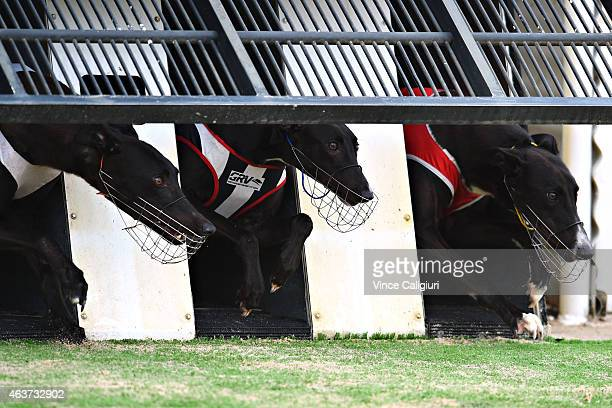General view of greyhounds out of the starting boxes at The Meadows Greyhound track on February 18 2015 in Melbourne Australia The Greyhound racing...
