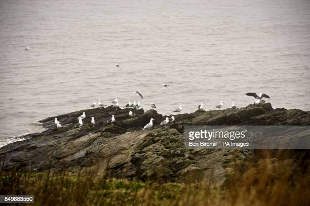 A general view of gulls on Flat Holm island in the Bristol Channel Flat Holm is a limestone island in the Bristol Channel approximately 6 km from...