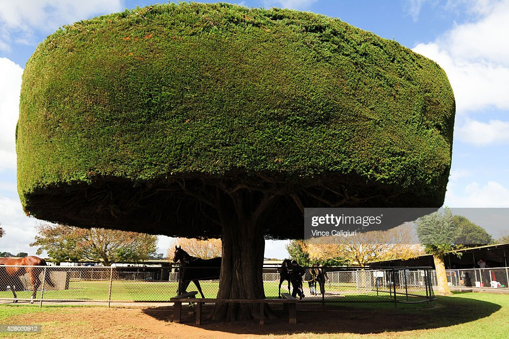 General view of horses parading in the parading ring in front of the famous racecourse trees during Brierly Day at Warrnambool Race Club on May 4, 2016 in Warrnambool, Australia.