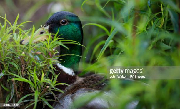 A general view of mallard duck in the undergrowth at The Royal Botanic Gardens Kew London