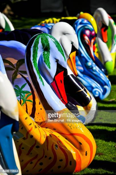 A general view of swans which are part of a giant flock of around 60 brightly coloured swan sculptures are prepared and arranged in the grounds of...