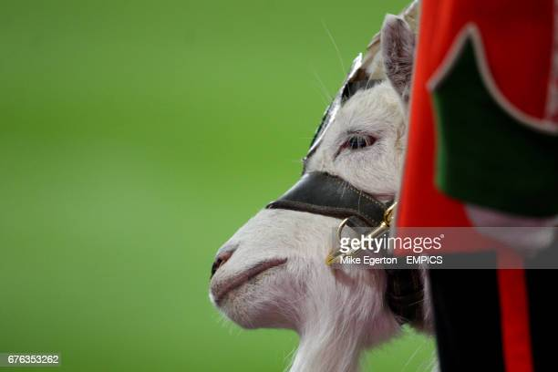 General view of the goat mascot of the 2nd Battalion the Royal Regiment of Wales Taffy