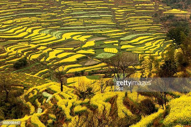 A general view of the rape flowers field is seen on March 22 2014 in Wuyuan Jiangxi Province of China