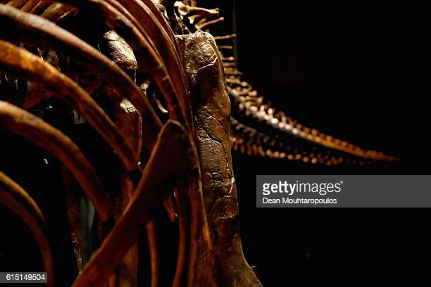 A general view of the rib cage and tail of Trix the female TRex exhibition at the Naturalis or Natural History Museum of Leiden on October 17 2016 in...