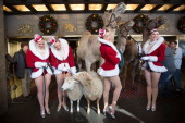 A general view of The Rockettes with camels donkeys and sheep at the 2013 Radio City Christmas Spectacular 'Living Nativity' rehearsals at Radio City...